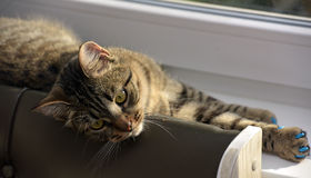 Young handsome tabby cat at home Royalty Free Stock Photography