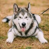 Young Happy Alaskan Malamute Puppy Dog Royalty Free Stock Photo