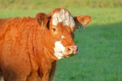 Free Young Happy And Smiling Dairy Cow Royalty Free Stock Image - 129943576