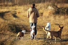 Young happy caucasian man walks with four dogs l royalty free stock image