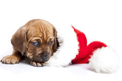 Young happy christmass doggy Stock Photo
