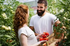 Young couple of farmers working in greenhouse. Young happy couple of farmers working in greenhouse Royalty Free Stock Photo