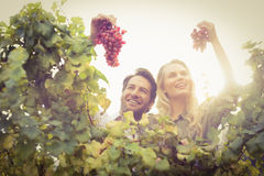 Young happy couple holding grapes Stock Image