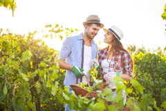 Young happy couple in vineyard during harvest season royalty free stock photo