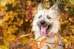 Young happy dog playing with leaves in autumn royalty free stock photography