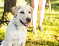 Young happy dog retriever outside walking playing in green park Royalty Free Stock Photos