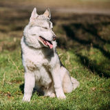 Young Happy Gray Husky Puppy Eskimo Dog Sitting In Green Grass P Royalty Free Stock Photos