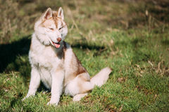Young Happy Husky Eskimo Dog Puppy Sitting In Grass Park Royalty Free Stock Images