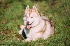 Young Happy Husky Eskimo Dog Sitting In Green Grass Park. Puppy Royalty Free Stock Images