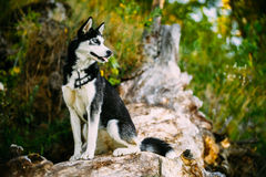 Young Happy Husky Eskimo Dog Sitting On Trunk Of A Stock Photo