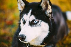 Young Happy Husky Puppy Eskimo Dog Royalty Free Stock Images