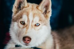 Young Happy Husky Puppy Eskimo Dog With Stock Image