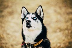 Young Happy Husky Puppy Eskimo Dog Stock Image