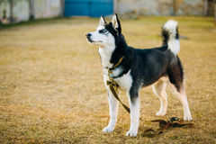 Young Happy Husky Puppy Eskimo Dog Outdoor In Stock Photos