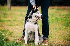 Young Happy Husky Puppy Eskimo Dog Outdoor In Royalty Free Stock Photo