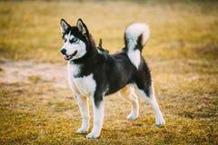Young Happy Husky Puppy Eskimo Dog Royalty Free Stock Image