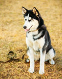 Young Happy Husky Puppy Eskimo Dog Royalty Free Stock Photography