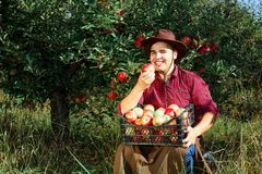 Man garden collect ripe apples hat green red proprietor worker owner harvest box basket. Young happy man in the garden collect ripe apples. The man is eating an stock images