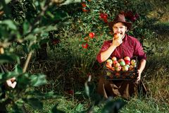Man garden collect ripe apples hat green red proprietor worker owner harvest box basket. Young happy man in the garden collect ripe apples. The man is eating an royalty free stock photography