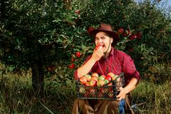 Man garden collect ripe apples hat green red proprietor worker o royalty free stock image