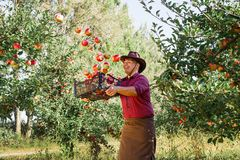 Man garden collect ripe apples hat green red proprietor worker owner harvest. Young happy man in the garden collect ripe apples. Falling apples to a box of a royalty free stock photography