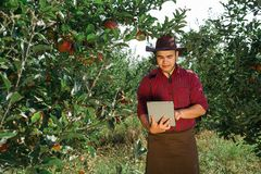 Man garden collect ripe apples hat green red proprietor worker owner harvest. Young happy man in the garden collect ripe apples. Farmer in his own garden looking royalty free stock photos