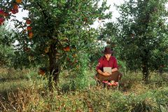 Man garden collect ripe apples hat green red proprietor worker owner harvest. Young happy man in the garden collect ripe apples. Farmer in his own garden looking royalty free stock photography