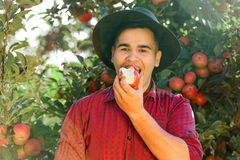 Man garden collect ripe apples hat green red proprietor worker owner harvest. Young happy man in the garden collect ripe apples. The man is eating an apple stock photos