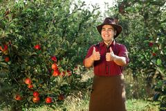 Man garden collect ripe apples hat green red proprietor worker owner harvest. Young happy man in the garden collect ripe apples. The owner of apple orchard is stock images