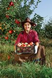 Man garden collect ripe apples hat green red proprietor worker owner harvest box basket. Young happy man in the garden collect ripe apples. A worker in the royalty free stock images