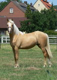 A young and happy Palomino horse. On the willow Stock Images