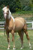A young and happy Palomino horse Royalty Free Stock Photography