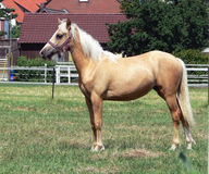 A young and happy Palomino horse Royalty Free Stock Images