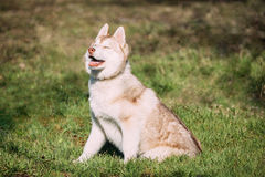 Young Happy Puppy Husky Eskimo Dog Sitting In Green Grass Park Royalty Free Stock Photo