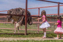 Young happy smiling child girls feeding emu ostrich on bird farm Stock Images