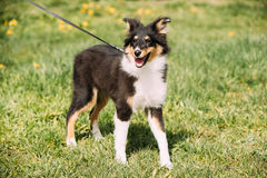 Young Happy Smiling Shetland Sheepdog Sheltie Puppy Playing Outdoor Royalty Free Stock Image