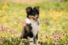 Young Happy Smiling Shetland Sheepdog Sheltie Puppy Playing Outdoor. In Green Spring Meadow With Yellow Flowers. Playful Pet Outdoors stock image
