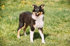 Young Happy Smiling Shetland Sheepdog Sheltie Puppy Playing Outdoor Stock Photo