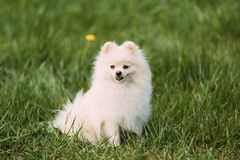 Young Happy White Pomeranian Spitz Sitting In Green Grass.  Royalty Free Stock Image