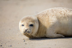 Young Harbor Seal baby Stock Photo