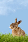 Young Hare, Easter bunny sitting in green meadow Stock Photo