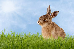 Young Hare, Easter bunny sitting in green meadow Stock Image