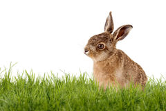 Young Hare, Easter bunny sitting on green meadow Royalty Free Stock Photo