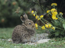 Young hare eating yellow clover Royalty Free Stock Image