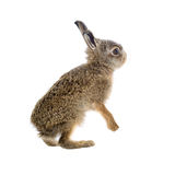 Young hare 3 weeks old isolated. On white background Royalty Free Stock Image