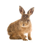 Young hare 3 weeks old isolated. On white background Royalty Free Stock Photos