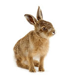 Young hare 3 weeks old isolated. On white background Stock Photos