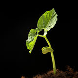 Young haricot plant Stock Images