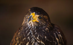 Young Harris Hawk VI. The Harris\\\'s Hawk or Harris Hawk (Parabuteo unicinctus) formerly known as the Bay-winged Hawk or Dusky Hawk, is a medium-large bird of Stock Photo