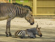 Young hartmanns mountain zebra together with its mother, Vulnerable animal specie from namibia and Angola in Africa. A young hartmanns mountain zebra together royalty free stock photos